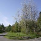 cerisiers-en-fleurs-3b