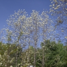 cerisiers-en-fleurs